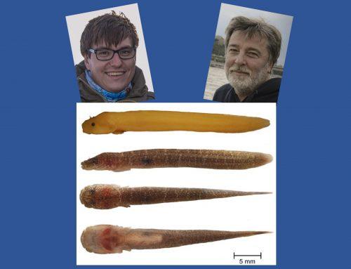 Gouania hofrichteri sp. nov. Wagner et al. 2020 ist da!