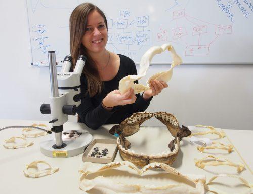 Neue Erkenntnisse zur evolutiven Geschichte der Tigerhaie